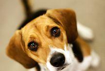 Beautiful beagle / bb