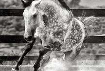 Carousel: Dapple Grey & Blue Roan Horses / by Junkin' J