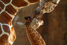 Жирафыы