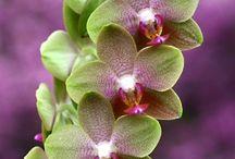 Phalaenopsis- Orchidee