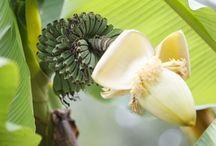 Banán - Bananas
