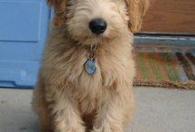 Labradoodles / by Peggy Hall