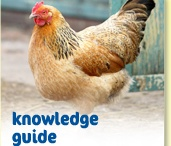 So now the chickens are laying--HELP! / Everyone I have known with more than one laying hen has a problem TOO MANY EGGS. I would like to market mine someday--for that I need to know laws (will pin if found), but meanwhile would like to collect recipes, storage information, etc. / by Linda Hindman Wharton
