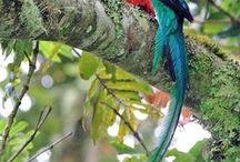 ケツァール(Resplendent Quetzal) / 世界一美しい鳥「ケツァール」。手塚治虫の漫画『火の鳥』(不死鳥)の主人公でもある伝説の鳥のモデル。この鳥の別名は、火炎鳥、フェニックス、鳳凰などいくつかある。