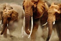 Elephant Watch / Sharing is Caring!!! By New York Heart.
