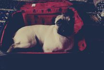 Mi Pug