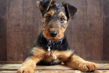 Airedale Terriers / by Staci Grauman