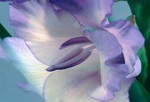 Flores - Gladiouloe