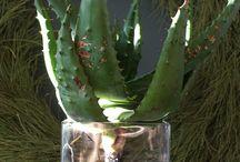 Aloe decor
