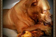our dogue de Bordeaux