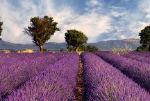 Aromatherapy Botanticals / Botanicals that produce essential oils