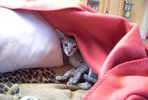 Amira & Riyalah / Kätzchen Kitten OKH Orientalen