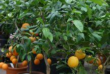 Citruspflanzen