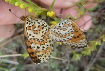 Ribagorza = Butterflies / NL: Ribagorza is paradijs voor vlinder liefhebbers. GB: Ribagorza is paradise for butterfly enthusiasts. ES: La Ribagorza es para los amantes de las mariposas.