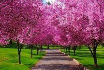 pomi înfloriți
