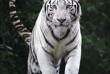 Hivd tiger