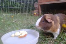 Cool Guinea Pig Stuff / All things Guinea pig related, cool guinea pig images and blog posts from www.onlineguienapigcare.com #guineapigs #guineapig