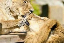 Love For Lions❤