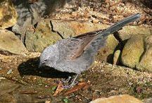 Birds of South Australia / Birds of South Australia