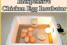 Egg Incubator (Kuluçka Makina ) / Incubating Chicken Eggs