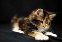 Les chats . Cats