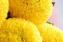 Chrysanthemums & Dahlias