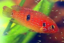 African Cichlid / by Holley Edwards Kimball