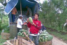 PAPAYAKU / horticultura