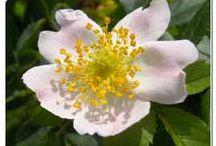 Rosiers des chiens, Églantiers (Rosa canina) / L'églantier est le plus commun des rosiers sauvages du continent européen. Rosa canina est le plus connu des églantiers. C'est un arbrisseau épineux de 2 à 3 m de hauteur. Ses longues branches sont arquées et épineuses sauf sur les branches florales dépourvues d'épines. Premiers rosiers cultivés en Europe avant que les galliques et les Damas soient ramenés du Moyen-Orient par les Croisés au XIVe siècle. Sert souvent de porte-greffe.