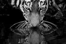 tigrrrr