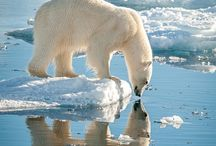 Polar Bears  ~ ❄Love❄ ~  Ours Polaires.