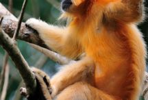 Hoolock gibbon Sanctuaries in india / Sanctuariesindia: Here you can get information about all Hoolock gibbon Sanctuaries in India.
