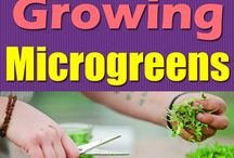 Micro Greens and Sprouts