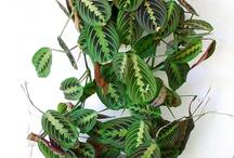 Plant crush