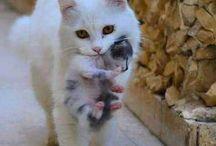 Valkoinen kissaemo kantaa pentua suussaan!