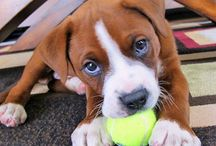 One day... / I have developed a desire for a dog in my life. Preferably a boxer/lab mix.