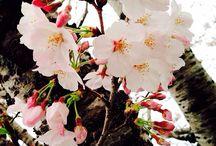 桜 / 桜