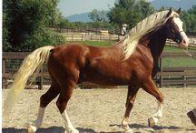 Horses  & hibrids