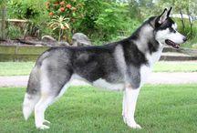 Lobos y lobos siberianos <3 <3