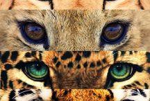 Big Cats / Lion, Tiger, Puma, Leopard, Cheetah