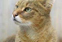 Chausie / Cat