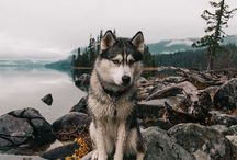 Animals | Huskies & Malamutes