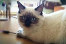 My Ragdoll / Moje koty Ragdoll
