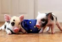 Tea cup piglets