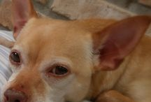 Living Outside the Stacks: Squeekerz / All about my Jack Russell Chihuahua mix / by {with coffee & a camera}