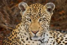 Ntima (Female leopard) / 'Ntima' means the dark one  Territorial female of the south-east region Born in 1997 Mother to Ostrich Koppies and Kwatile (not seen regularly), daughter of Ngoboswane female Spot pattern is 2/2