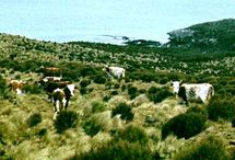 Campbell Island Cattle Breeds #1