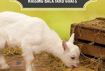 Meat Goat Department