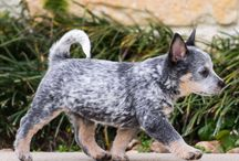 ACD Puppies