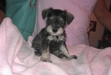 Oodles of Schnoodles / My Schnoodle Molly Sue / by Candace MacAllister